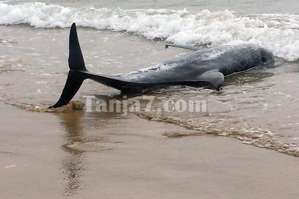 إنقاذ دلفين بشاطئ مالاباطا