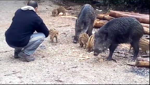 إطعام خنازير غابة الرميلات