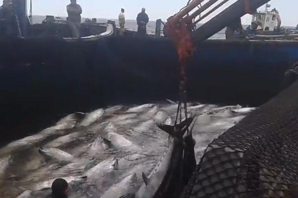 اصطياد سمكة التونة بطنجة