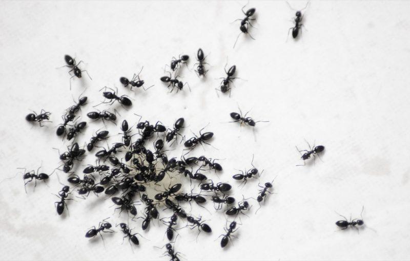 النمل الطائر والحسد